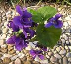 Violette in giardino