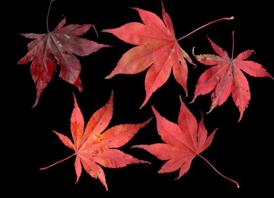 home decor / Maple gorgeousness // instant download / jpg file / wall art / autumn red / leaves de emmarts