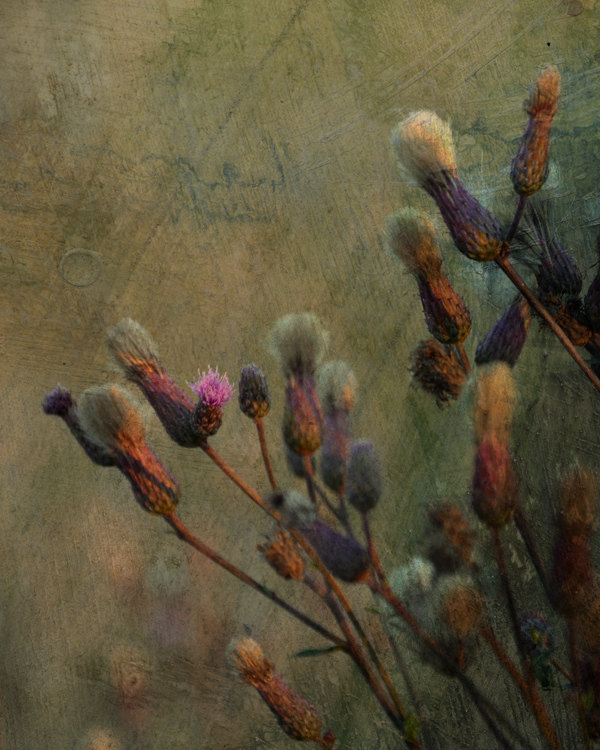 Dreamy photo thistle Shabby meadow fine art photography print, digital collage 8X10 landscape limited edition violet brown green wall home by ANNandDAD